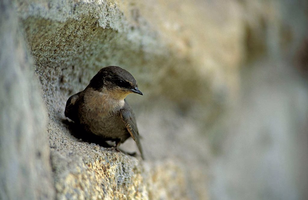 Little Swift Apus affinis Serengeti Nationalpark Tanzania Africa : Stock Photo