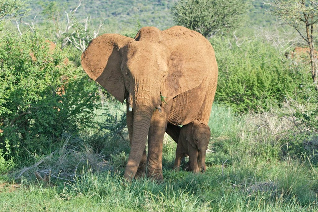 Stock Photo: 4133-11192 African Elephant, Loxodonta africana, Madikwe National Park, South Africa , Africa