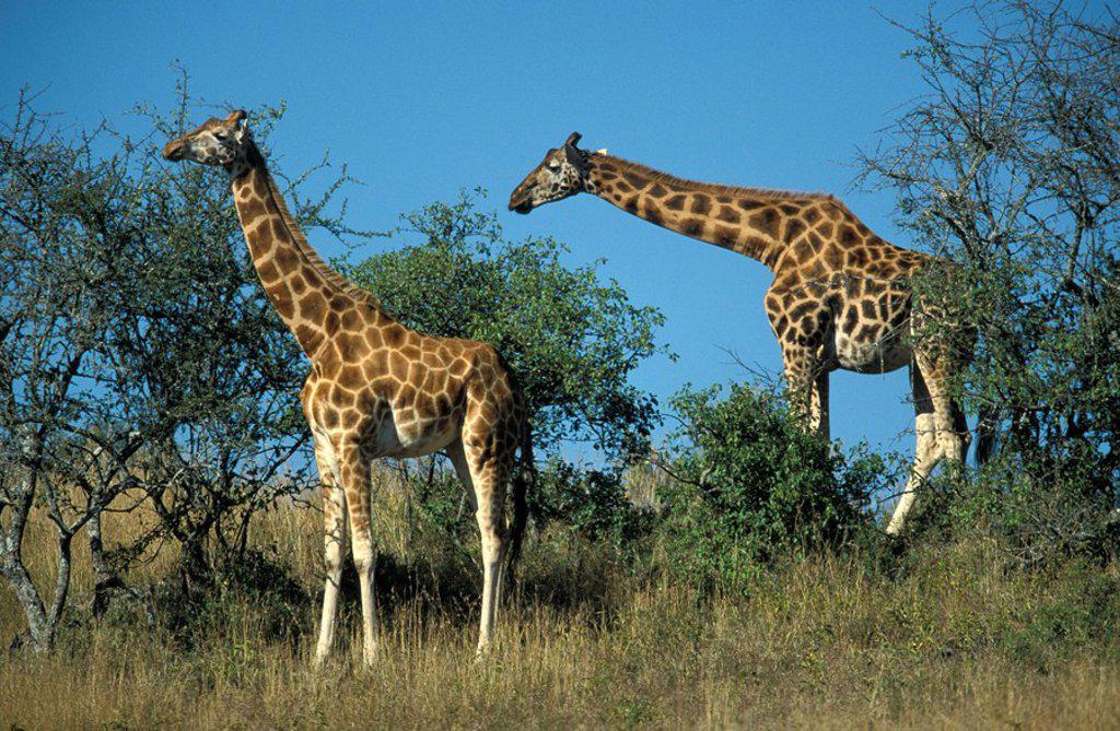 Rothschild Giraffe,Giraffa camelopardalis rothschildi,Nakuru Nationalpark,Kenya,Africa : Stock Photo