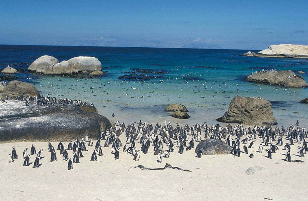 Jackass Penguin Spheniscus demersus Boulders Cape Peninsula South Africa : Stock Photo