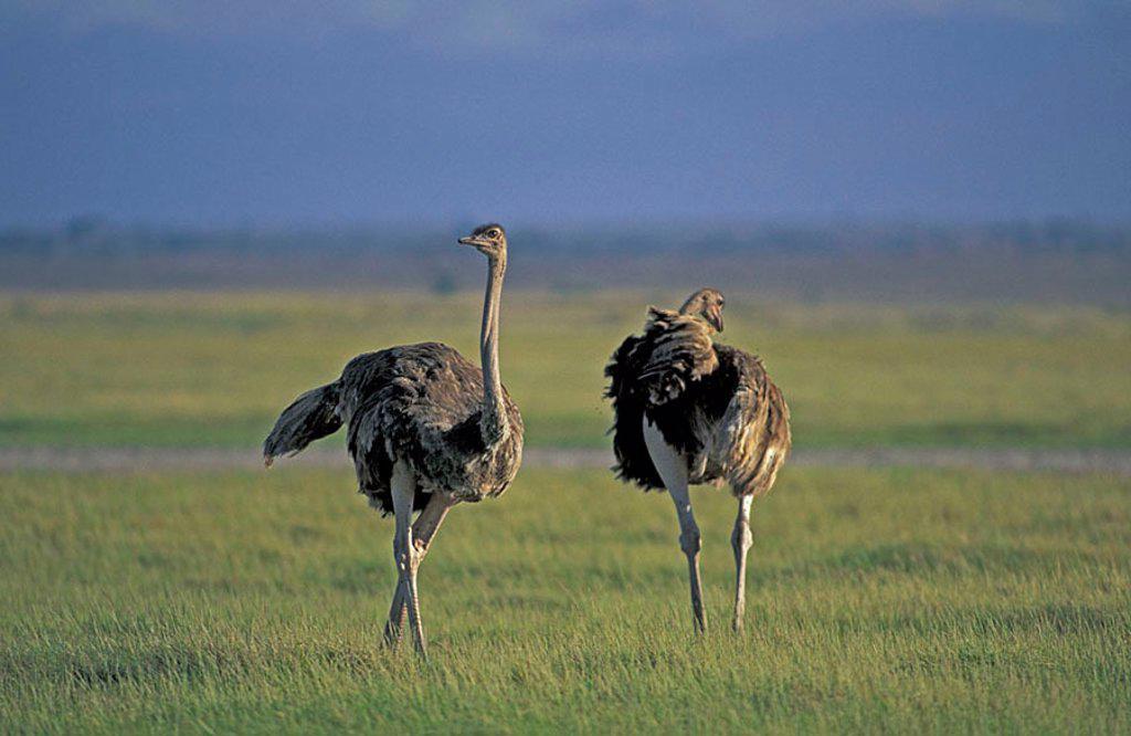 Stock Photo: 4133-11519 Masai Ostrich Struthio camelus massaicus Amboseli Nationalpark Kenya Africa