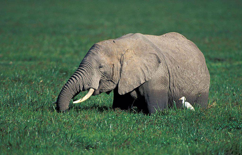 Stock Photo: 4133-11661 African Elephant Loxodonta africana Amboseli Nationalpark Kenya Africa