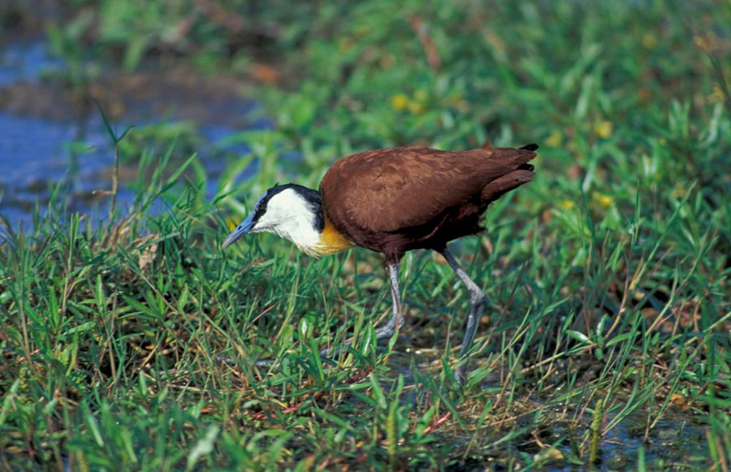 African Jacana, Actophilornis africanus, Amboseli Nationalpark, Kenya : Stock Photo