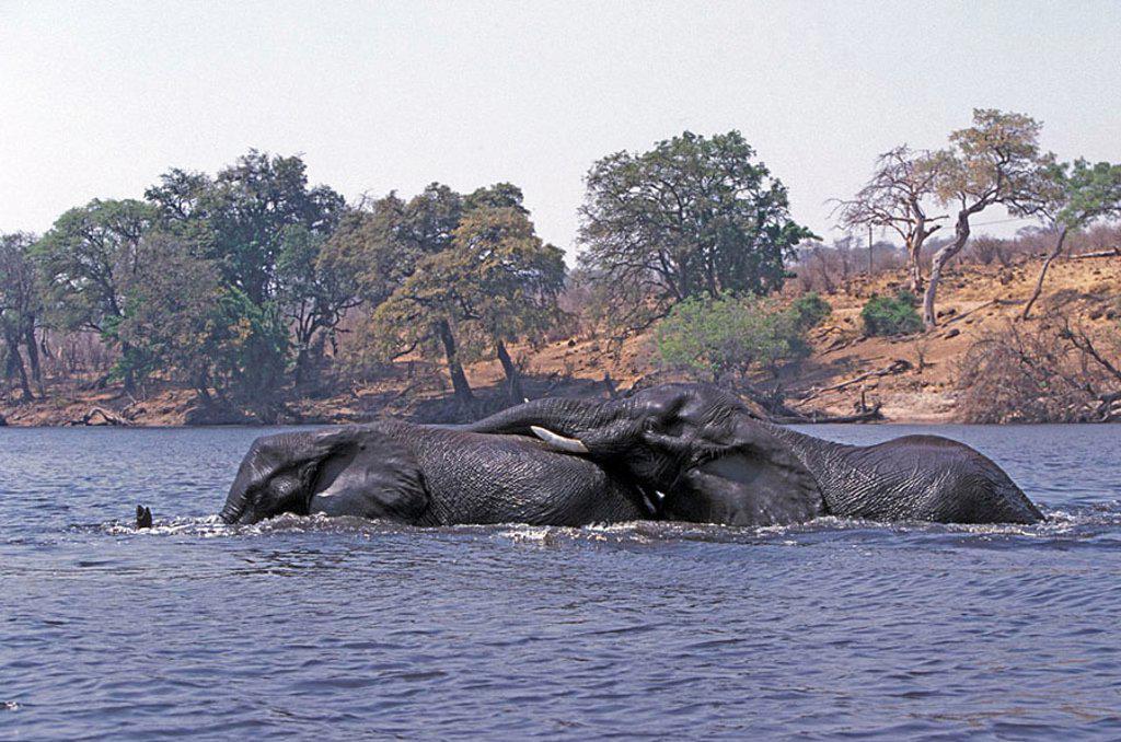 African Elephant Loxodonta africana Chobe Nationalpark Botswana Africa : Stock Photo