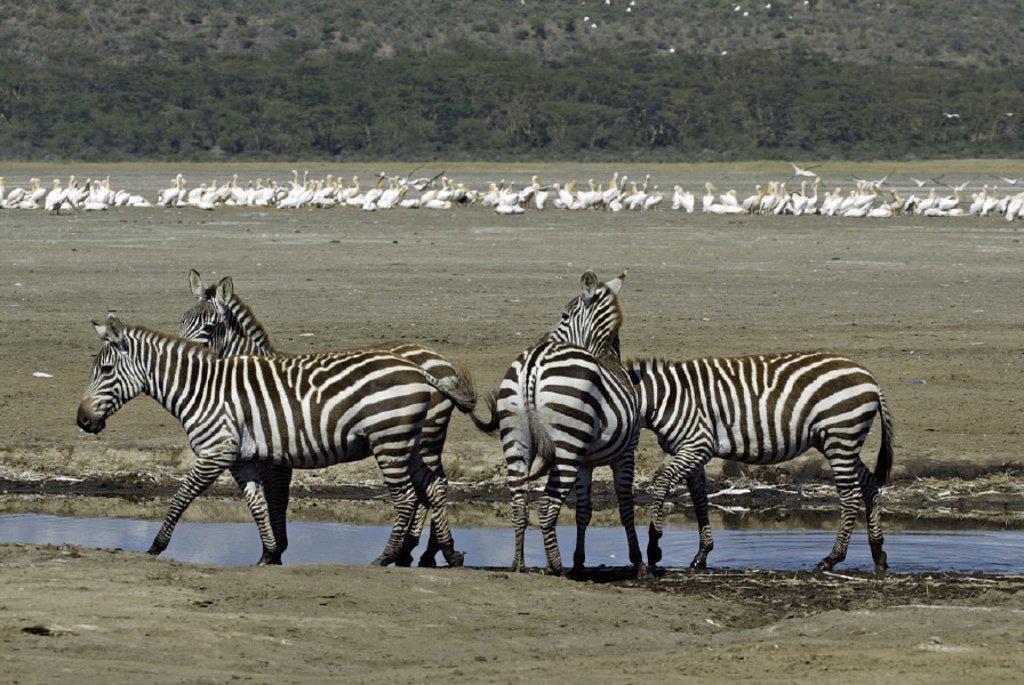 Plains Zebra(Burchell) Equus burchelli boehmi Lake Nakuru Kenya : Stock Photo