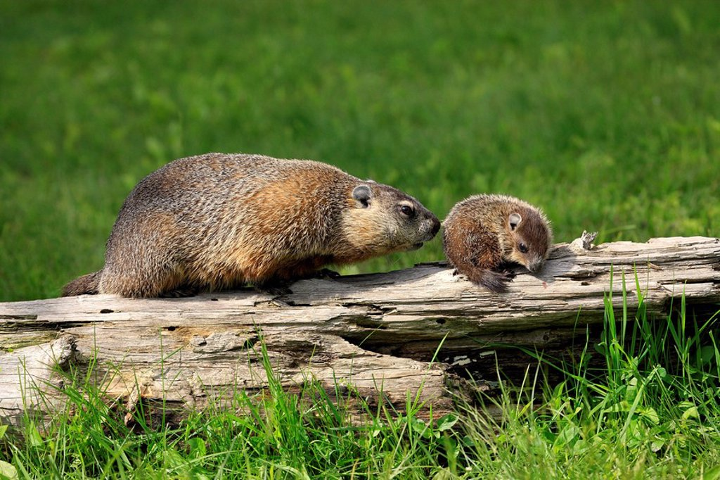 Stock Photo: 4133-11973 Woodchuck,Groundhog,Marmota monax,Minnesota,USA