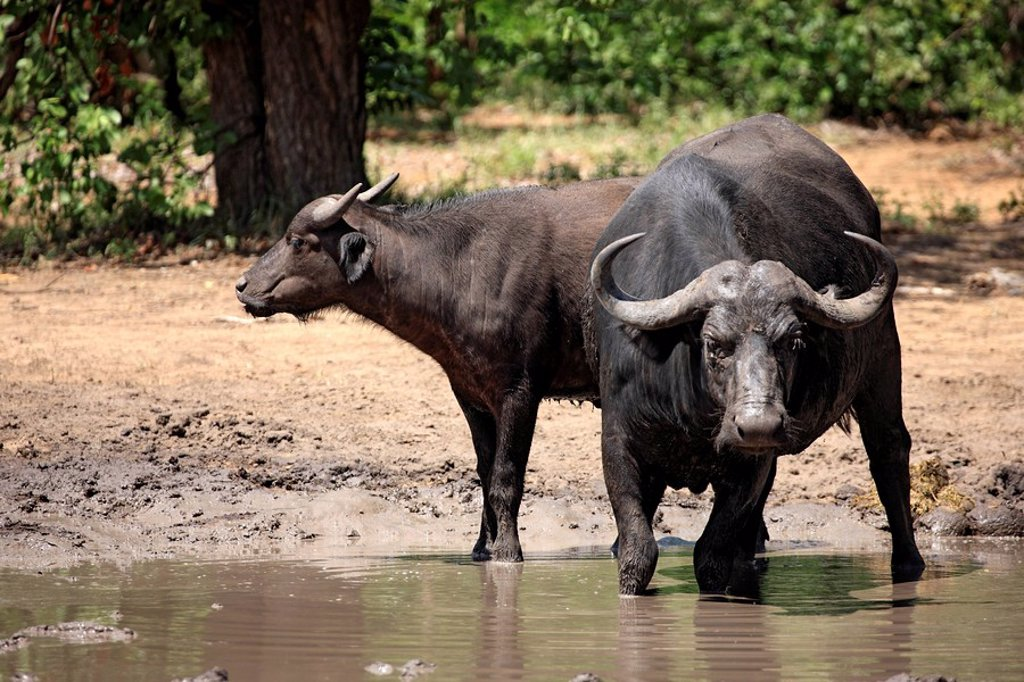 Stock Photo: 4133-11981 African Buffalo,Syncerus caffer,Kruger Nationalpark,South Africa,Africa