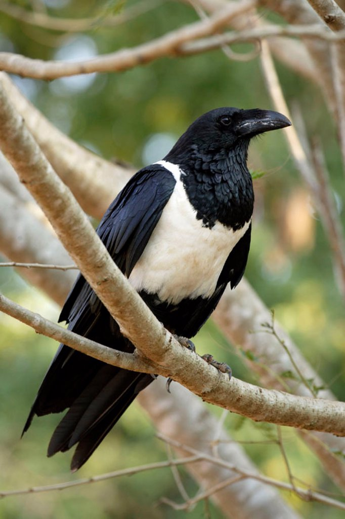 Pied Crow, Corvus albus, Berenty Game Reserve, Madagascar : Stock Photo