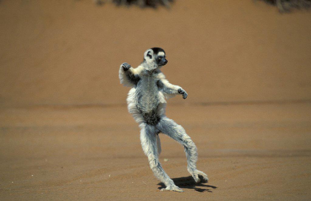 Verreaux`s Sifaka , Sifaka , Propithecus verreauxi , Berenty Game Reserve , Madagascar , Africa : Stock Photo