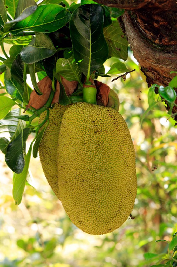 Stock Photo: 4133-12521 Jackfruit, Artocarpus heterophyllus, Nosy Be, Madagascar