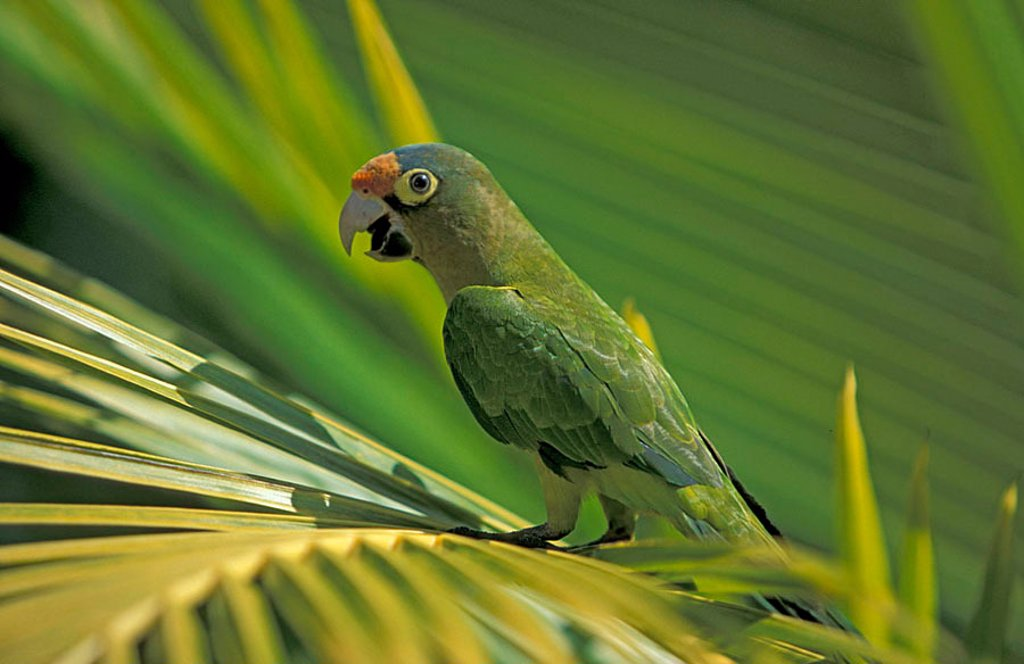 Orange Fronted Conure Aratinga canicularis clarae Roatan Honduras : Stock Photo
