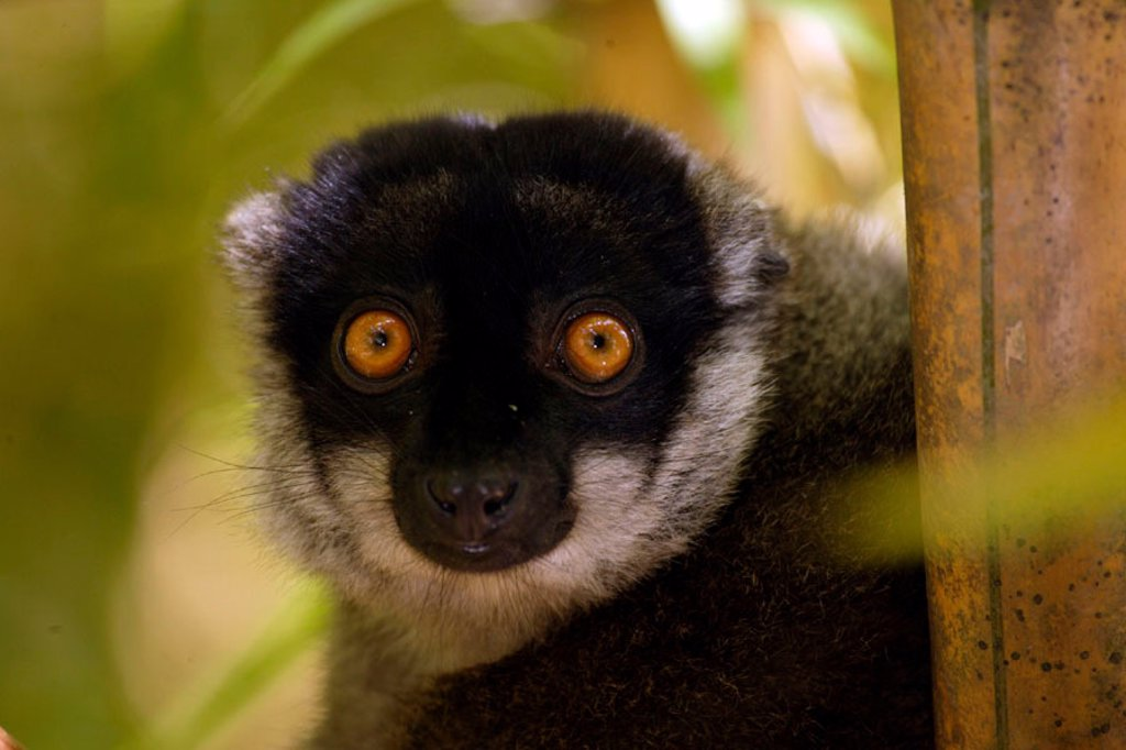 Stock Photo: 4133-12764 Common Brown Lemur, Eulemur fulvus fulvus, Madagascar