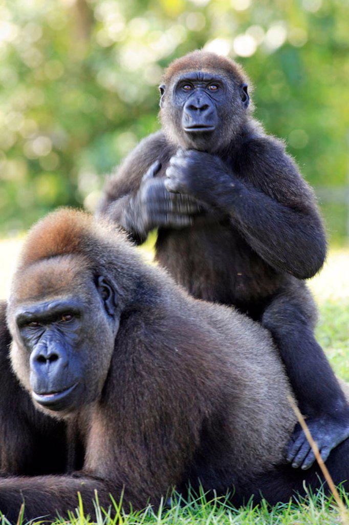 Stock Photo: 4133-12765 Lowland Gorilla, Gorilla g. gorilla, Africa
