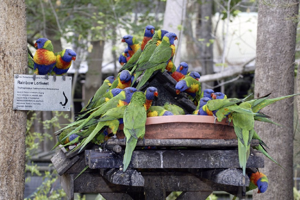 Rainbow Lorikeet Trichoglossus haematodus Australia : Stock Photo