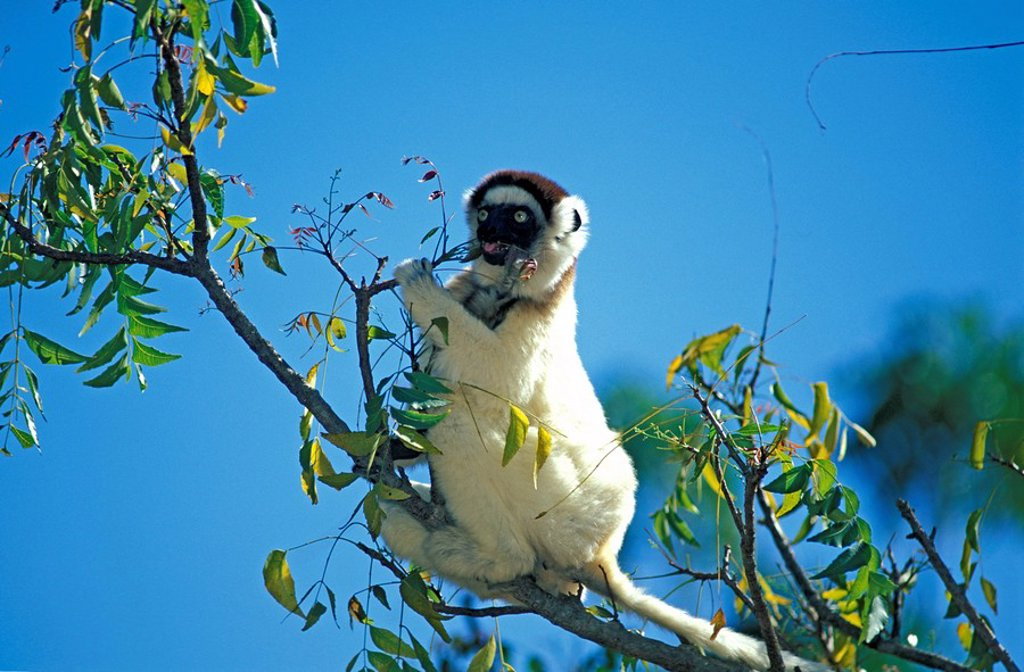 Stock Photo: 4133-12868 Verreaux`s Sifaka,Propithecus verreauxi,Berenty Game Reserve,Madagascar,Africa
