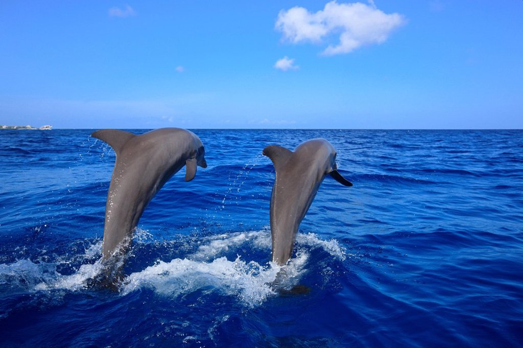 Bottle_nosed Dolphin,Bottle Nosed Dolphin,Bottle Nose Dolphin,Tursiops truncatus,Roatan,Honduras,Caribbean,Central America,Lateinamerica : Stock Photo