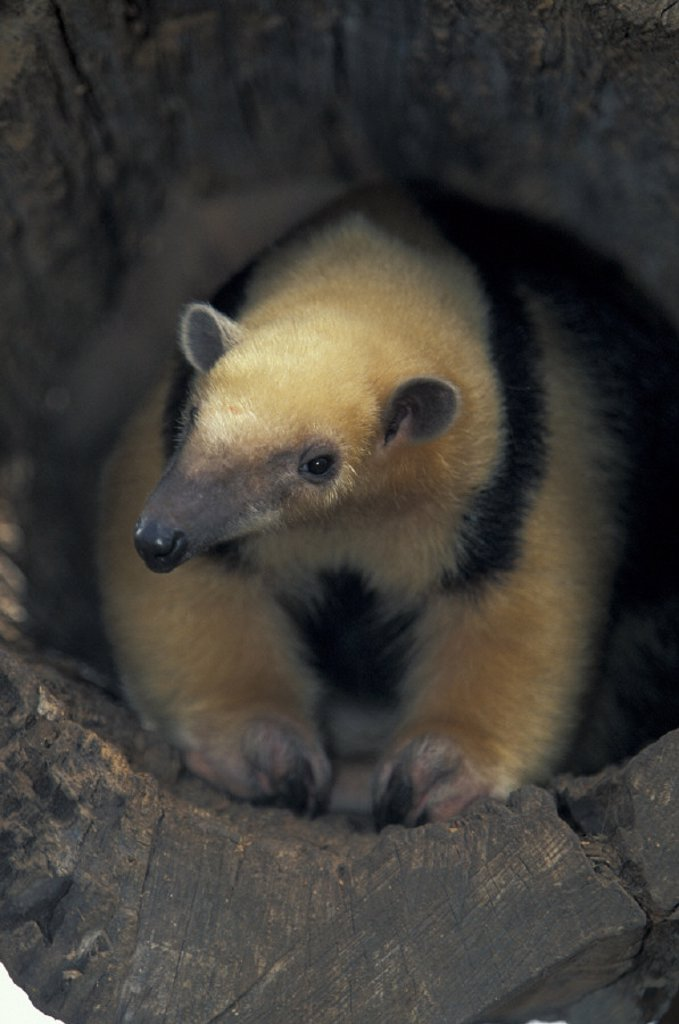 Stock Photo: 4133-13382 Tamandua , Tamandua tetradactyla , South America