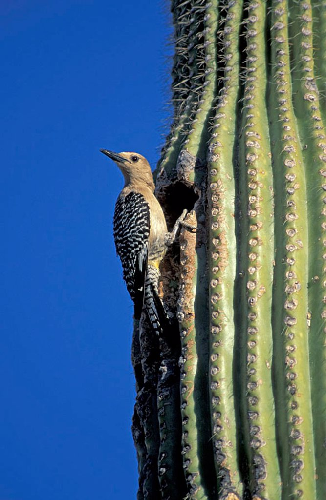 Stock Photo: 4133-13479 Gila Woodpecker Melanerpes uropygialis Sonora Desert Arizona USA