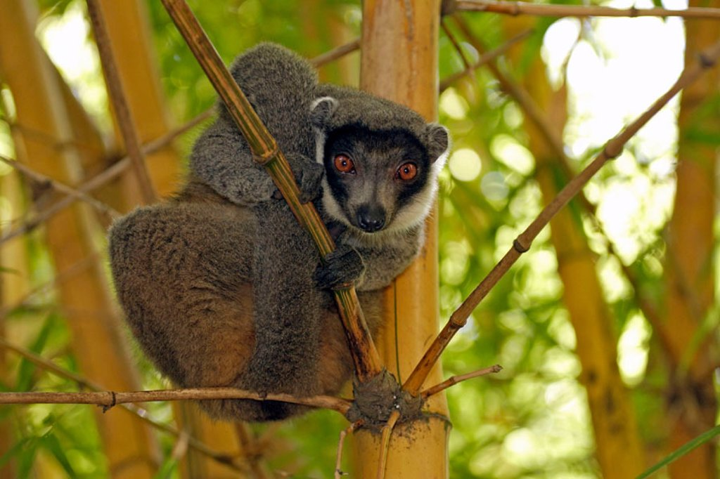 Stock Photo: 4133-13561 Mangoose Lemur, Eulemur mongoz, Madagascar