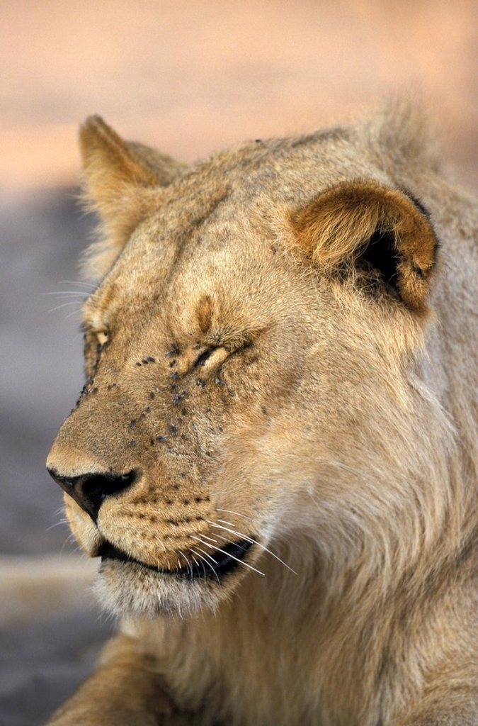 Lion,Panthera leo,Chobe NP,Botswana,Africa : Stock Photo