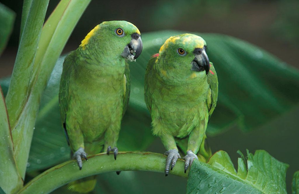 Yellow naped Amazon Amazona auropalliata South America : Stock Photo