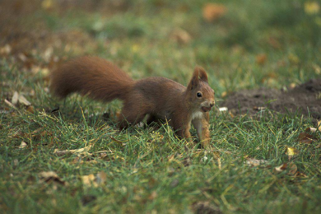 Stock Photo: 4133-13885 Red Squirrel , Sciurus vulgaris , Germany
