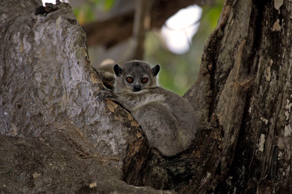 White footed sportive Lemur, Lepilemur leucopus, Berenty Game Reserve, Madagascar : Stock Photo