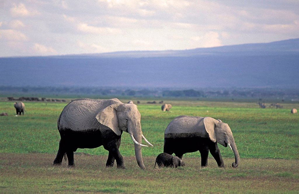 Stock Photo: 4133-14039 African Elephant Loxodonta africana Amboseli Nationalpark Kenya Africa