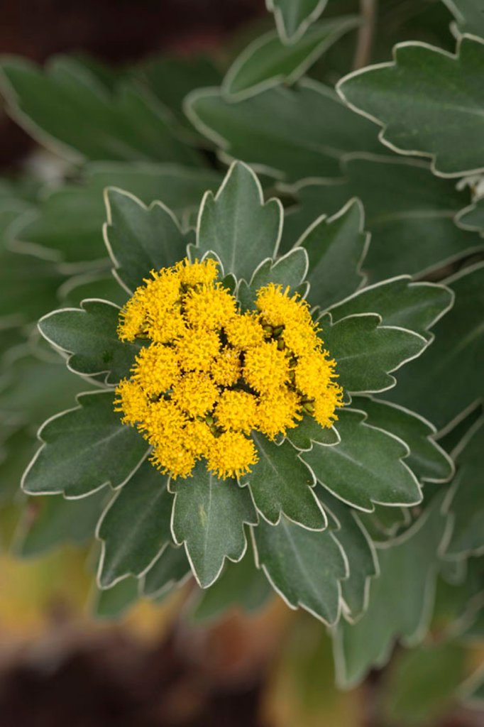 Stock Photo: 4133-14126 Silver and Gold Chrysanthemum, Chrysantheme ajania pacifica, Germany