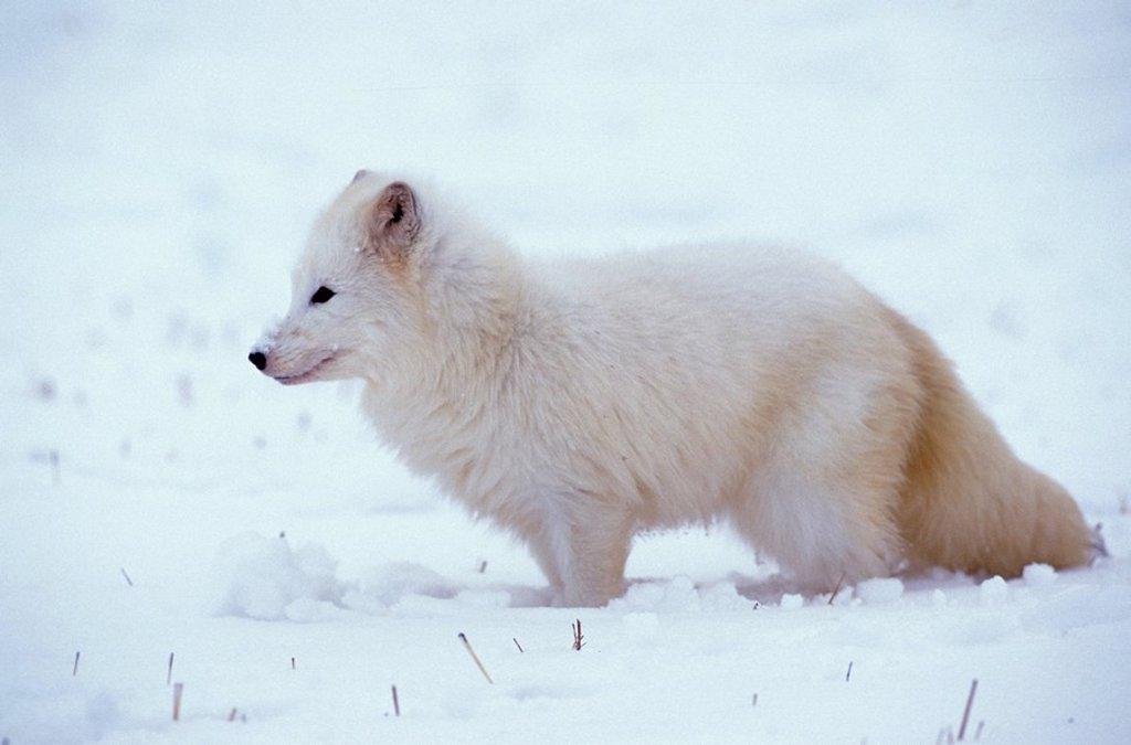 Stock Photo: 4133-14276 Arctic Fox,Alopex lagopus,Montana,USA