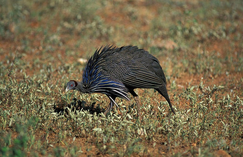 Stock Photo: 4133-14314 Vulturine Guinea Fowl Acryllium vulturinum Samburu Game Reserve Kenya Africa