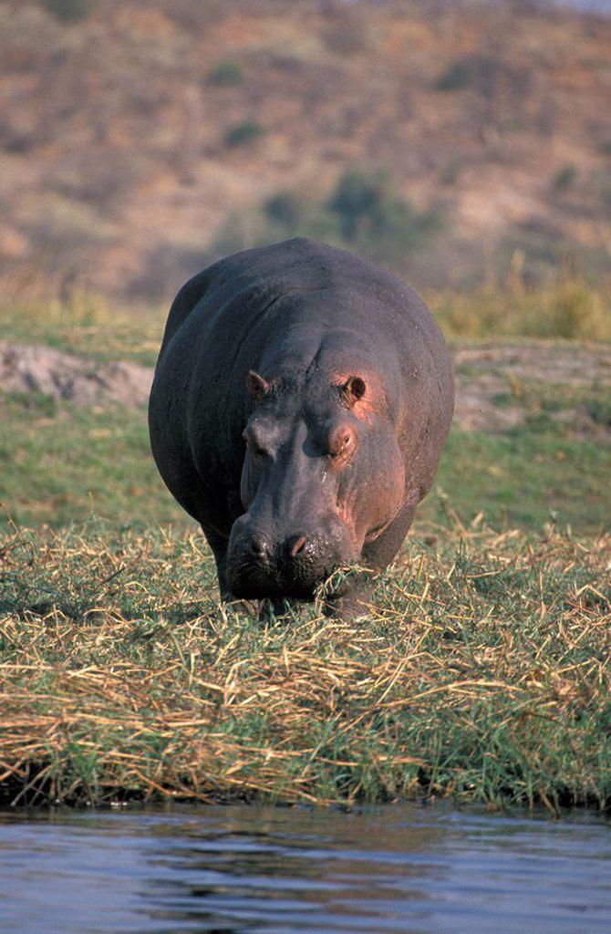 Stock Photo: 4133-1444 Hippopotamus,Hippopatamus amphibius,Chobe Nationalpark,Botswana,Africa
