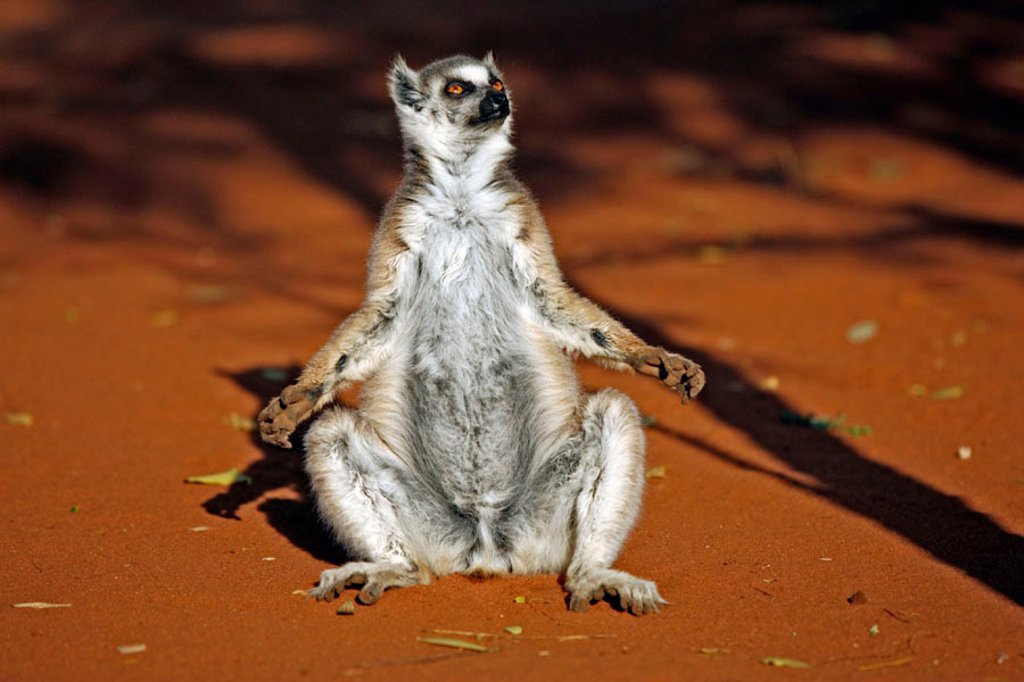 Stock Photo: 4133-14608 Ring Tailed Lemur, Lemur catta, Berenty Game Reserve, Madagascar