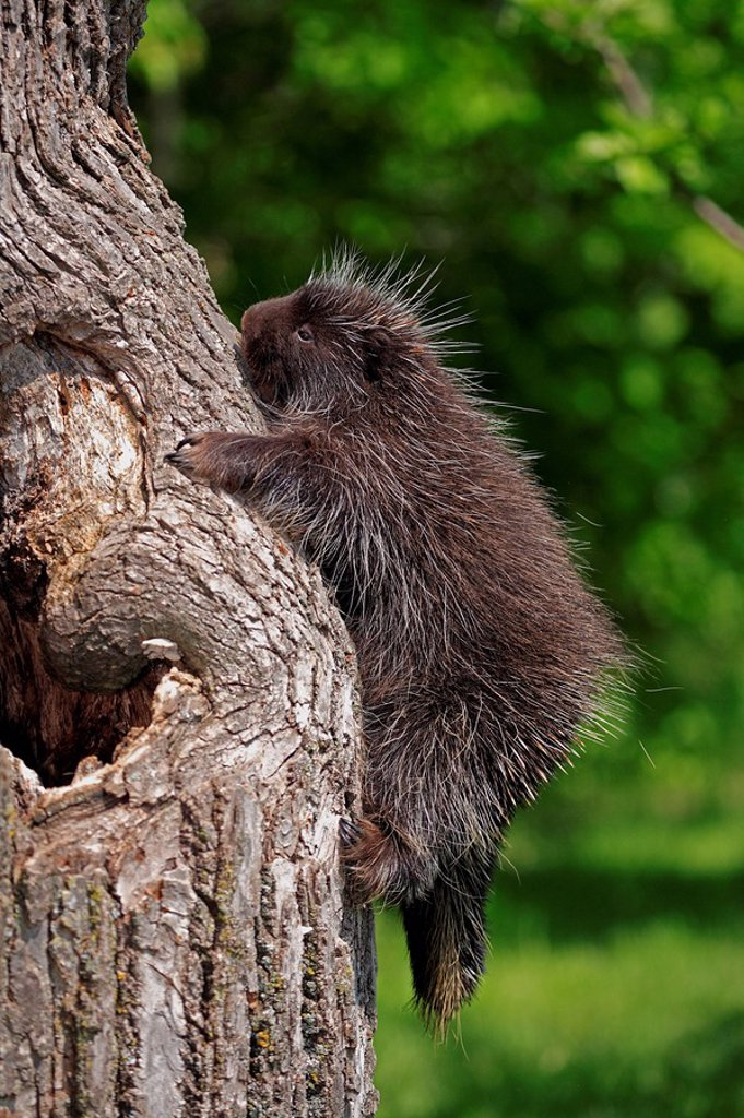 Stock Photo: 4133-14622 North American Porcupine,Erethizon dorsatum,Minnesota,USA