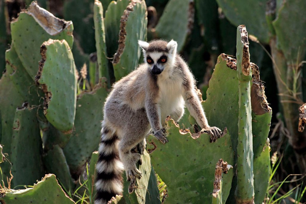 Ring Tailed Lemur, Lemur catta, Berenty Game Reserve, Madagascar : Stock Photo