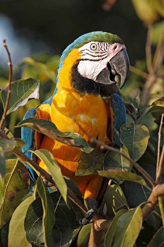 Blue and Yellow Macaw,Ara ararauna,Pantanal,Brazil : Stock Photo