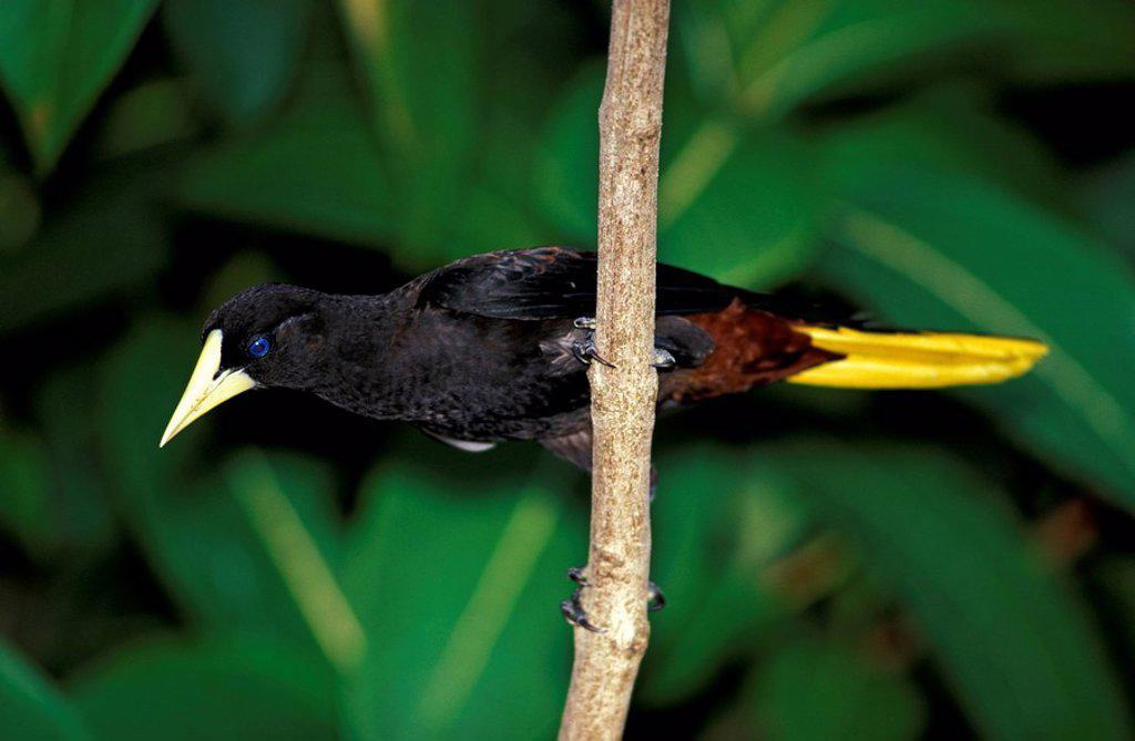 Crested Oropendola,Psarocolius decumanus,Asa Wright Nature Centre,Trinidad and Tobago,Carib : Stock Photo
