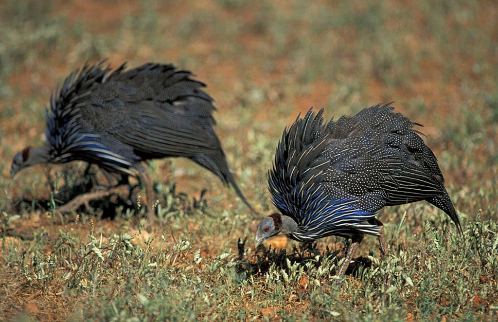 Vulturine Guinea Fowl Acryllium vulturinum Samburu Game Reserve Kenya Africa : Stock Photo