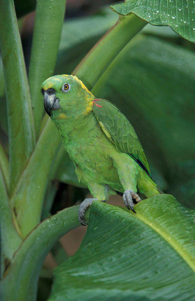 Stock Photo: 4133-15324 Yellow naped Amazon Amazona auropalliata South America