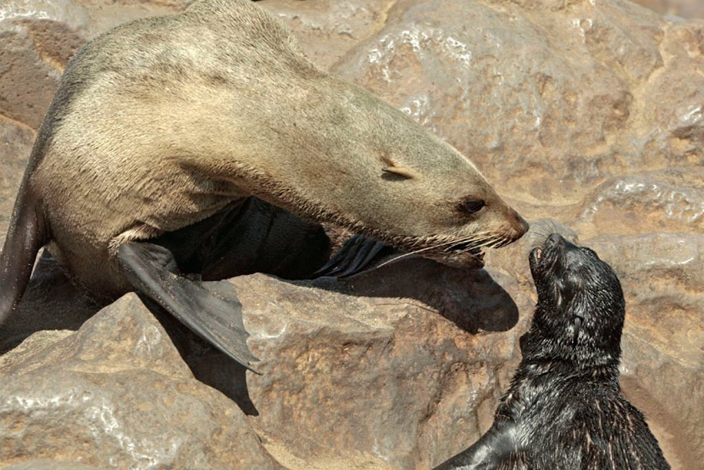 Cape Fur Seal, Arctocephalus pusillus, Cape Cross, Namibia , Africa : Stock Photo