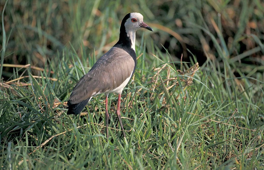 Stock Photo: 4133-15787 Long Toed Lapwing Vanellus crassirostris Chobe Nationalpark Botswana Africa