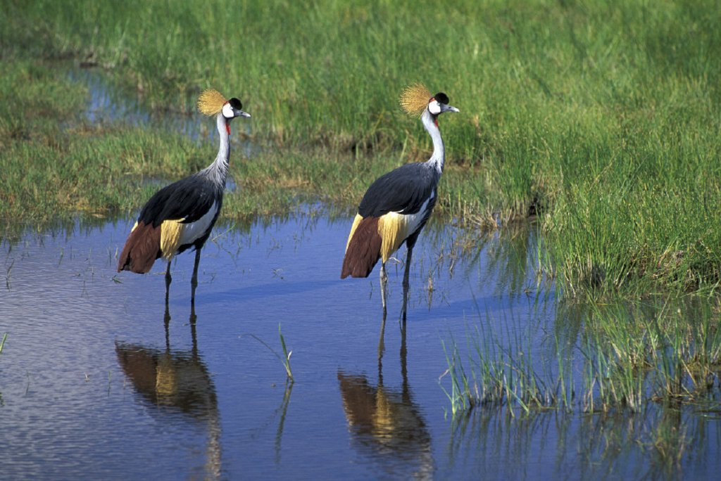 Crowned Crane , Balearica regulorum , Amboseli National Park ,  Kenya , Africa, Africa : Stock Photo