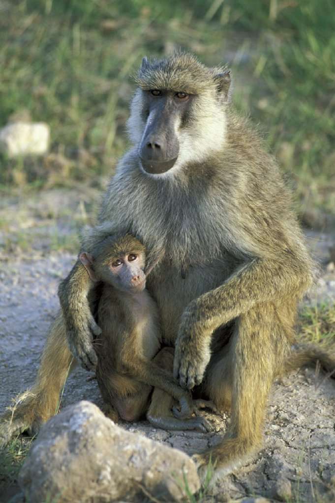 Stock Photo: 4133-1619 Yellow Baboon , Papio cynocephalus , Kenya , Africa , Amboseli National Park