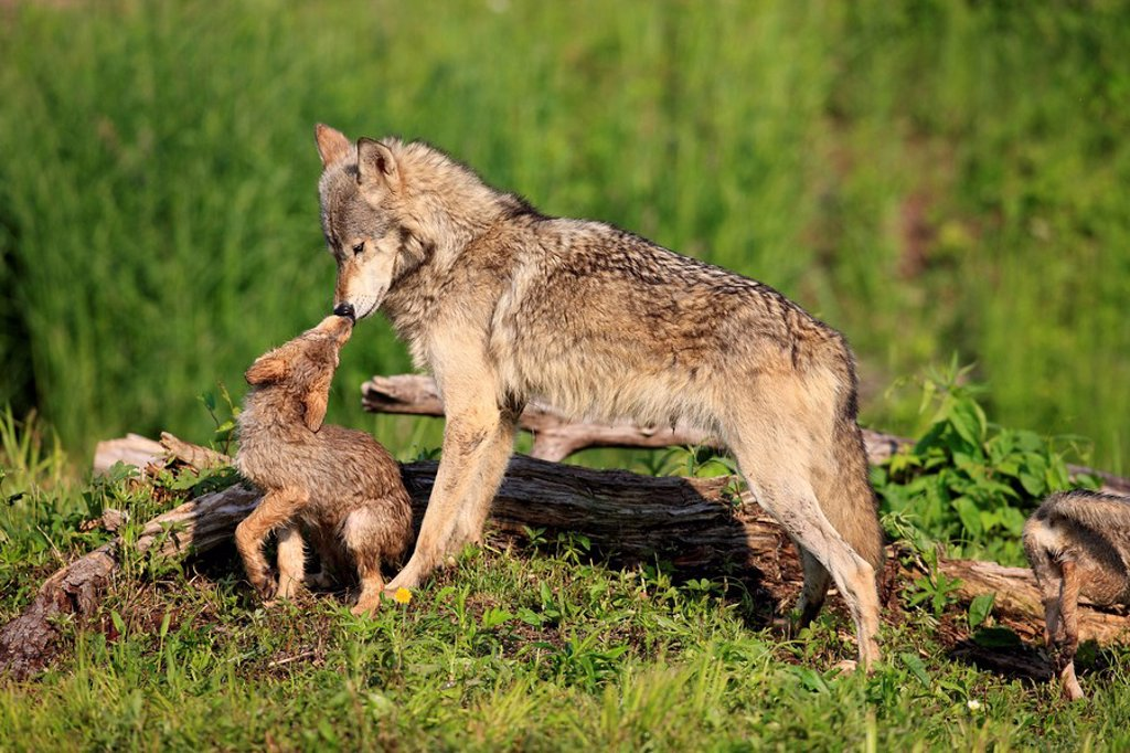 Stock Photo: 4133-16502 Gray Wolf,Grey Wolf,Canis lupus,Minnesota,USA