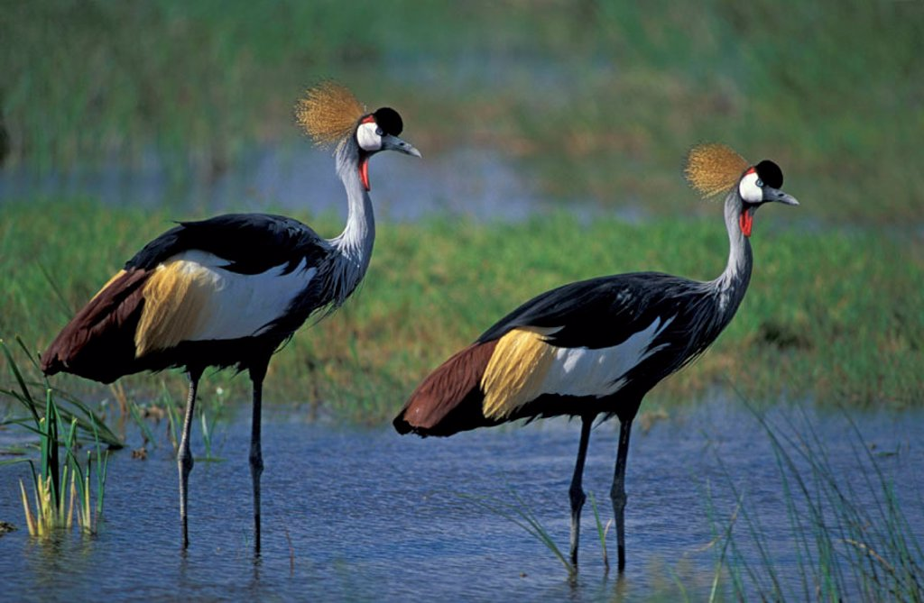 Crowned Crane, Balearica regulorum, Amboseli Nationalpark, Kenya : Stock Photo