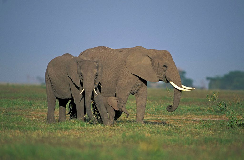 Stock Photo: 4133-16964 African Elephant Loxodonta africana Amboseli Nationalpark Kenya Africa
