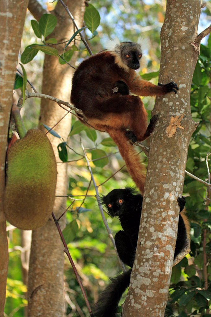 Black Lemur, Lemur macaco, Nosy Komba, Madagascar : Stock Photo