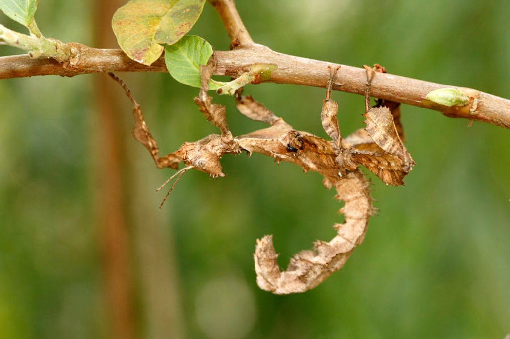 Stock Photo: 4133-17177 Leaf mimic praying mantis, Phyllocrania spec, Madagascar