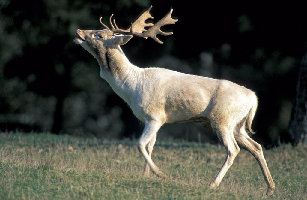 Fallow Deer,Cervus dama,Germany,Europe : Stock Photo