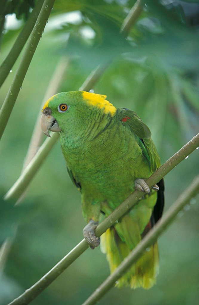 Yellow naped Amazon Amazona auropalliata South America : Stock Photo